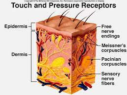 Human Anatomy Integumentary System Touch And Pressure Receptors 144506e8c08102cc908 Gif 640 480