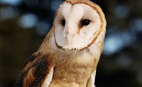 North American Barn Owl Barn Owl City Of Edmonton