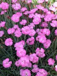dianthus flower dianthus tiny rubies bluestone perennials