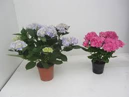 potare le ortensie in vaso ortensie in vaso piante da giardino coltivare le ortensie in vaso
