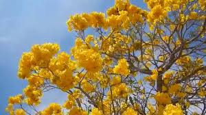 yellow flowers tabebuia tree blooming yellow flowers lake worth fl