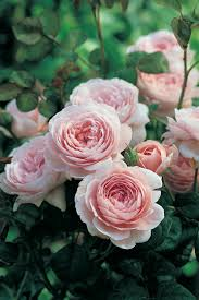 Most Fragrant Plants Fascinating Facts About Rose Fragrance Hgtv
