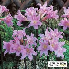 amaryllis flower amaryllis high country gardens