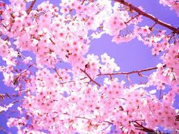 cherry blossom wallpaper 06782 baltana
