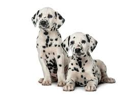 affenpinscher puppies for sale in texas dalmatian puppies for sale akc puppyfinder