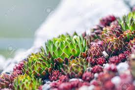 plants for rock gardens succulent plants suitable for rock garden sempervivum calcareum