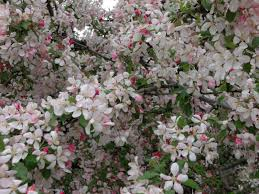 Cottonwood Tree Flowers - fruit tree blossoms scott u0027s place images and words