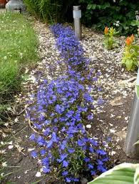 Our Favorite Plants How To by Trimming Back Lobelia U2013 When And How To Prune Lobelia Flowers