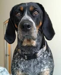 bluetick coonhound apparel bluetick dogs are dogs with a distinct blue like coat description