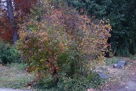 common lilac oregon state univ landscape plants