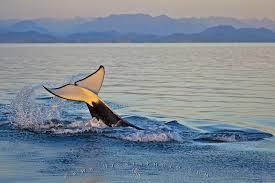 Simonscans Nico - swimming tiger vs swimming lion picarena image match swimming