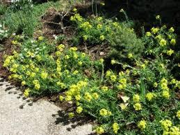 alyssoides utriculata north american rock garden society