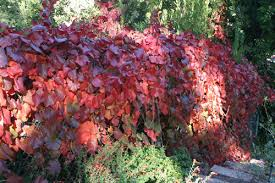 wildscaping plants vitis californica roger s