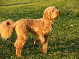 doodle doo labradoodles 7 best labradoodle images on dogs puppies and books