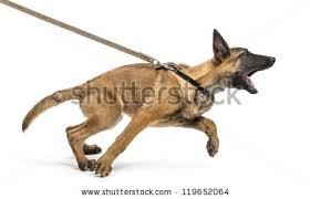 belgian shepherd vs pitbull fight aggressive dog stock images royalty free images u0026 vectors