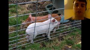 how to raise pigs for pork a compilation video of what i u0027ve