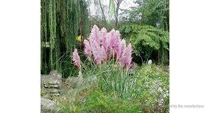 1 82 purple pas grass seed garden bonsai potted ornamental
