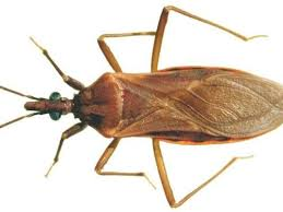 Arizona travel bug images What is chagas disease spread by 39 kissing bugs 39 jpg
