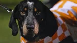 bluetick coonhound in florida the university of tennessee u0027s own blue tick coon hound history
