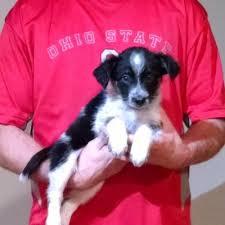 8 week old australian shepherd mix heaven 2 earth rescue