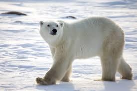 why are polar bears endangered challenges polar bears face