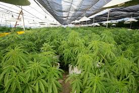 the cannabis encyclopedia chapter 4 where and when to plant