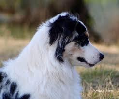 australian shepherd like water high desert aussies