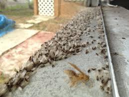 subterranean termite swarmers on a windowsill subterranean