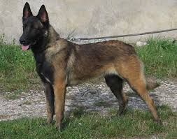 belgian shepherd 4 types saved by dogs continential shepherds belgians
