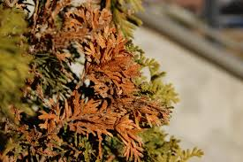 winter desiccation of woody ornamentals indiana yard and garden