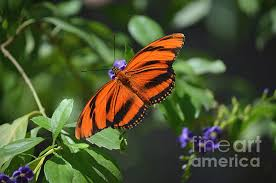beautiful oak tiger butterfly with spread wings photograph by