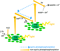 What Happens During The Light Dependent Reactions Of Photosynthesis Light Dependant Reactions S Cool The Revision Website