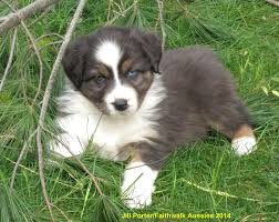 australian shepherd 4 weeks old faithwalk aussies eyes pigment markings