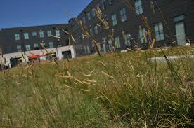 nebraska native plants unl u0027s sutton brings native grasses flowers to green roofs news