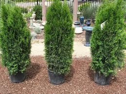 how to plant a hedge how tos diy