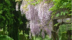 in season wisteria grow beautifully