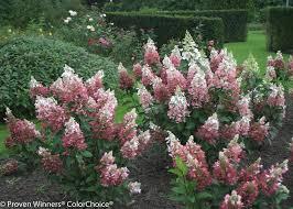 Fertilizer For Flowering Shrubs - pinky winky panicle hydrangea hydrangea paniculata proven