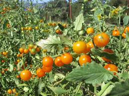 Vegetable Gardens In Florida by Sungold Tomato U0027s Grow Year Round In Florida For The Food In It