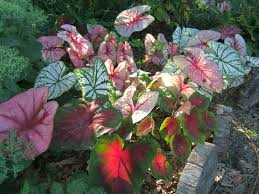 Summer Garden Plants - lilies caladiums and summer bulbs to brighten your garden