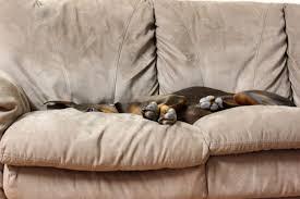 levrette sur canapé images gratuites chien mignonne canin de compagnie