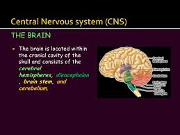 Gross Anatomy Of The Brain And Cranial Nerves Worksheet The Nervous System Slide Show