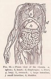 Photos Of Human Anatomy Organ Anatomy Wikipedia