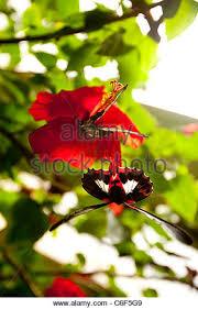 hibiscus butterflies stock photos hibiscus butterflies stock
