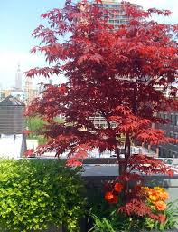 roof garden plants nyc terrace deck roof garden container plants japanese maple