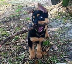 resume template accounting australian kelpie dog temperament by breed 42 best i want a dog images on pinterest adorable animals