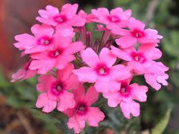 verbena flower verbena flower tattoo