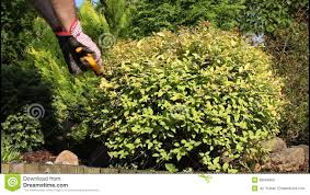 trimming bushes stock footage 38904800