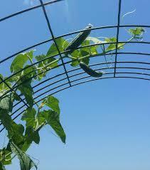 raised bed gardening u201cmarketmore u201d cucumbers the art u0026 science