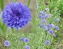 Bachelor Buttons Blue Boy U0027 Bachelor Button Seeds For Sale 1 00 Pack