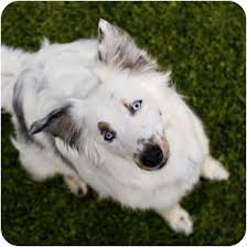 australian shepherd or border collie spring adopted dog mesa az australian shepherd border
